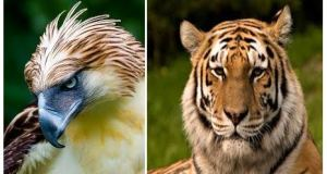The Philippine Eagle, left, and the tiger