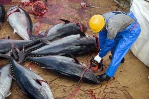 Bluefin tuna, an endangered species?